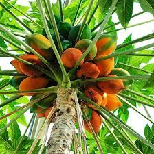 La papaye , savoureuse ,très parfumée.bon pour la santé !