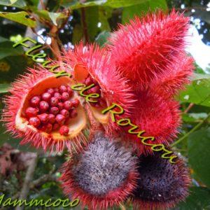 Fleur de roucou